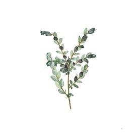 Vintage Creeping Willow Botanical Illustration
