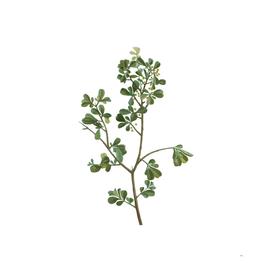 Vintage European Buckthorn Botanical Illustration
