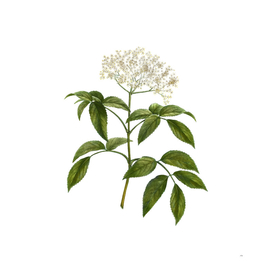 Vintage Elderberry Flowering Plant Botanical Illustra