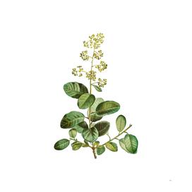 Vintage European Smoketree Botanical Illustration