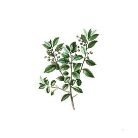 Vintage Evergreen Oak 3 Botanical Illustration