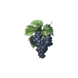 Vintage Grape Vine 2 Botanical Illustration