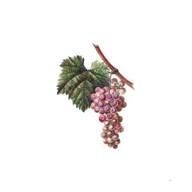 Vintage Grape Vine 3 Botanical Illustration