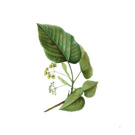 Vintage Linden Tree Branch 2 Botanical Illustration