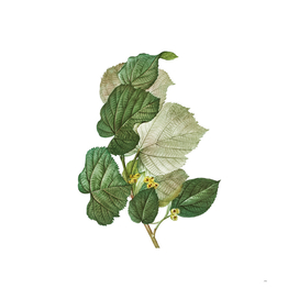Vintage Linden Tree Branch 3 Botanical Illustration