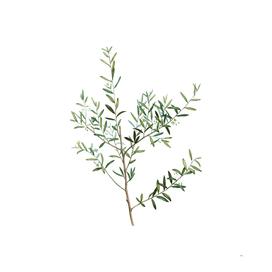 Vintage Myrtle Dahoon Branch Botanical Illustration