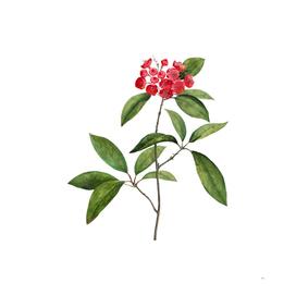 Vintage Mountain Laurel Branch Botanical Illustration