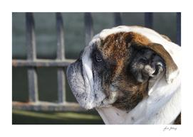 A profile of a Bulldog