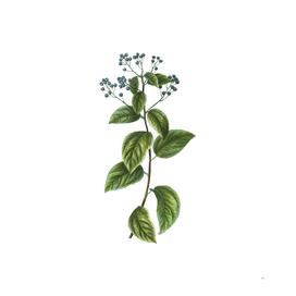 Vintage New Jersey Tea Botanical Illustration