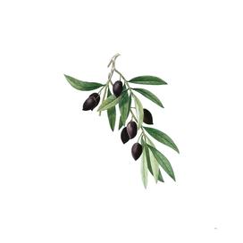 Vintage Olive Tree Branch 1 Botanical Illustration