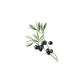 Vintage Olive Tree Branch 2 Botanical Illustration