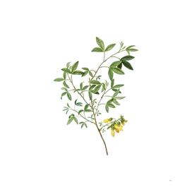 Vintage Stinking Bean Trefoil Botanical Illustration