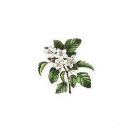 Vintage Sweet Crabapple Botanical Illustration