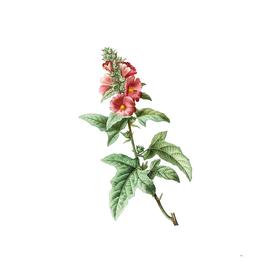 Vintage Tree Mallow Botanical Illustration