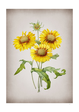 Vintage Blanket Flowers Botanical on Parchment