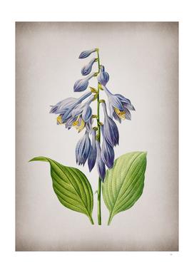 Vintage Blue Daylily Botanical on Parchment