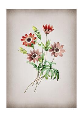 Vintage Broad Leaved Anemone Botanical on Parchment