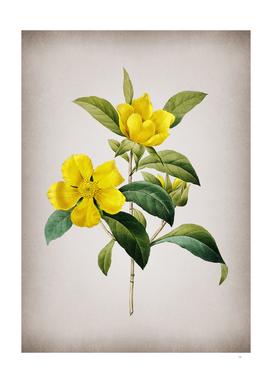 Vintage Golden Guinea Vine Botanical on Parchment