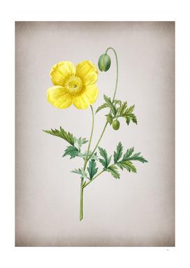 Vintage Welsh Poppy Botanical on Parchment