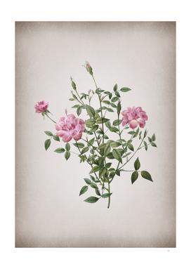 Vintage Blooming Dwarf Rosebush Botanical on Parchmen