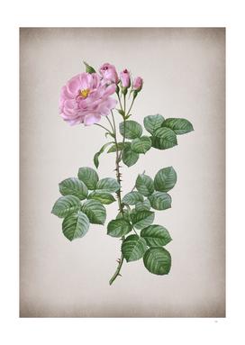 Vintage Blooming Damask Rose 2 Botanical on Parchment