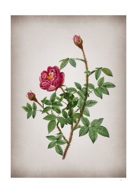 Vintage Blooming Moss Rose Botanical on Parchment