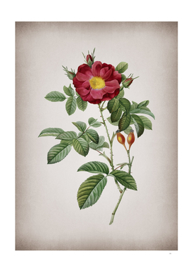 Vintage Blooming Red Portland Rose Botanical on Parch