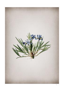 Vintage Dwarf Crested Iris Botanical on Parchment