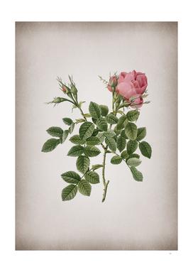 Vintage Dwarf Damask Rose Botanical on Parchment