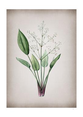 Vintage European Water Plantain Botanical on Parchmen