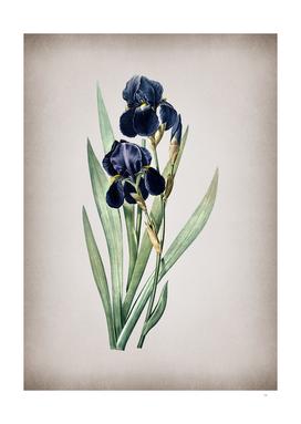 Vintage German Iris Botanical on Parchment
