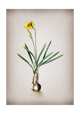 Vintage Narcissus Gouani Botanical on Parchment