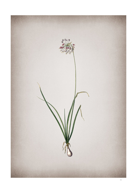 Vintage Nodding Onion Botanical on Parchment