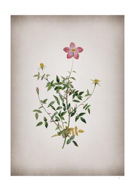 Vintage Single Dwarf Chinese Rose Botanical on Parchm