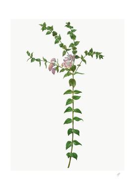 Botanic Floral Polygala