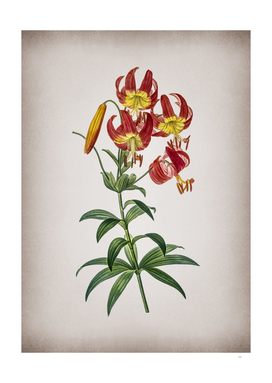 Vintage Turban Lily Botanical on Parchment