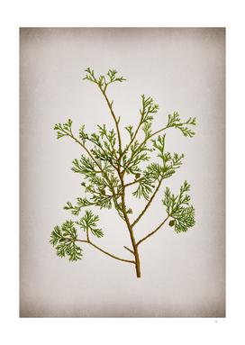 Vintage Atlantic White Cypress Botanical on Parchment