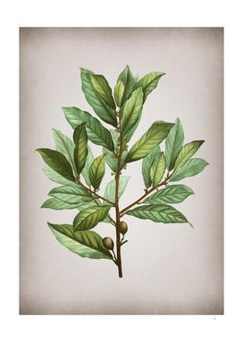 Vintage Bay Laurel Botanical on Parchment