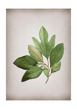 Vintage Bay Laurel Branch Botanical on Parchment