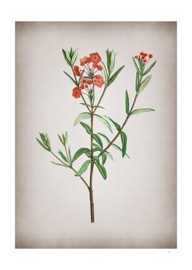 Vintage Bog Laurel Bloom Botanical on Parchment