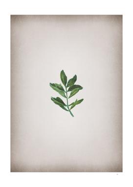 Vintage Buxus Colchica Twig Botanical on Parchment