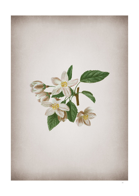 Vintage Crabapple 2 Botanical on Parchment