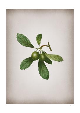 Vintage Crabapple 1 Botanical on Parchment