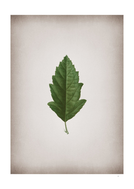 Vintage Crabapple 3 Botanical on Parchment