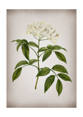 Vintage Elderberry Flowering Plant Botanical on Parch
