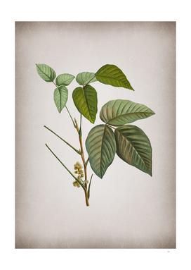 Vintage Eastern Poison Ivy Botanical on Parchment