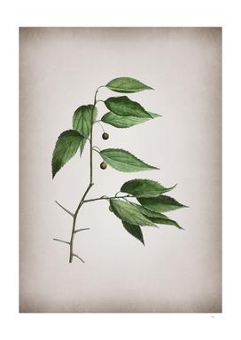 Vintage European Nettle Tree Botanical on Parchment