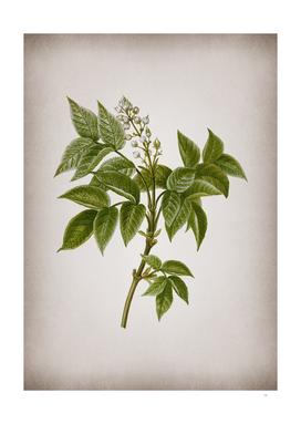 Vintage European Bladdernut Botanical on Parchment