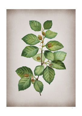 Vintage European Beech Botanical on Parchment