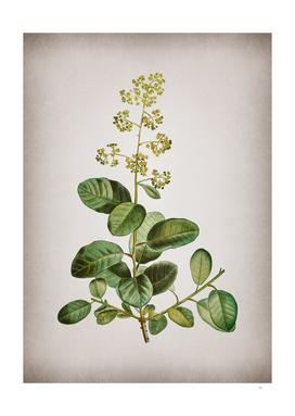 Vintage European Smoketree Botanical on Parchment